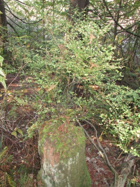 Huckleberry bush growing from a dead stump